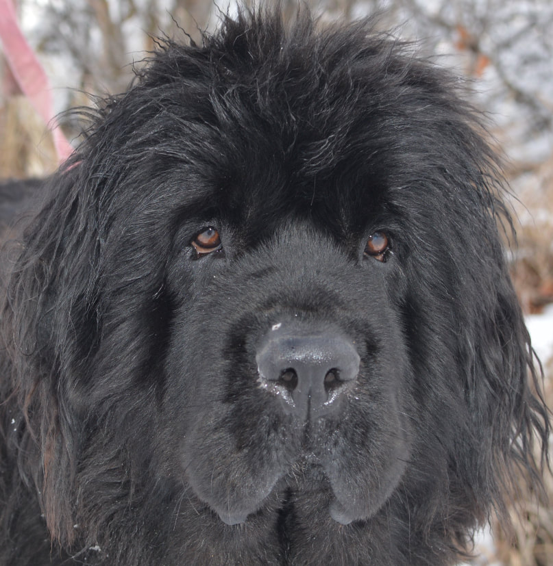 Moore Newfies Reputable Newfoundland Breeder In Colorado