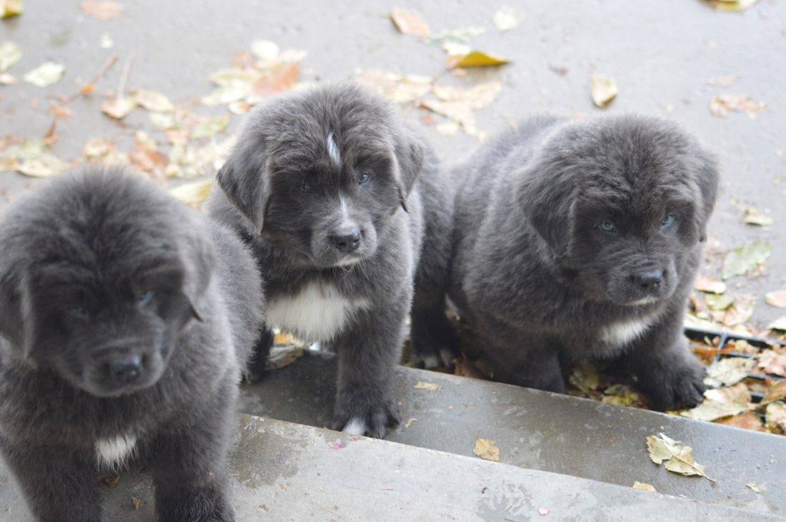 Moore Newfies Newfoundland Puppies For Sale Moore Newfies